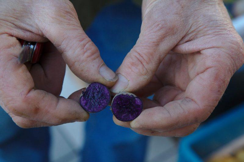 Explaining purple potato