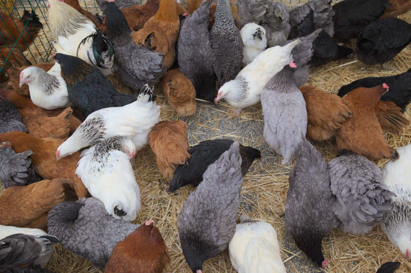Selection of hens for sale